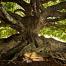 banyan_tree_kauai