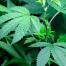 marijuana-plants-700x300